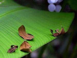 http://www.pixnio.com/free-images/flora-plants/trees/banana-tree-pictures/banana-leaf-green-725x544.jpg