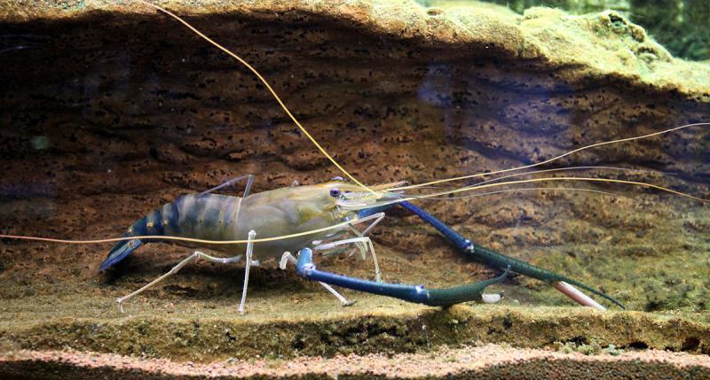 Giant river prawn | Thai Food DB